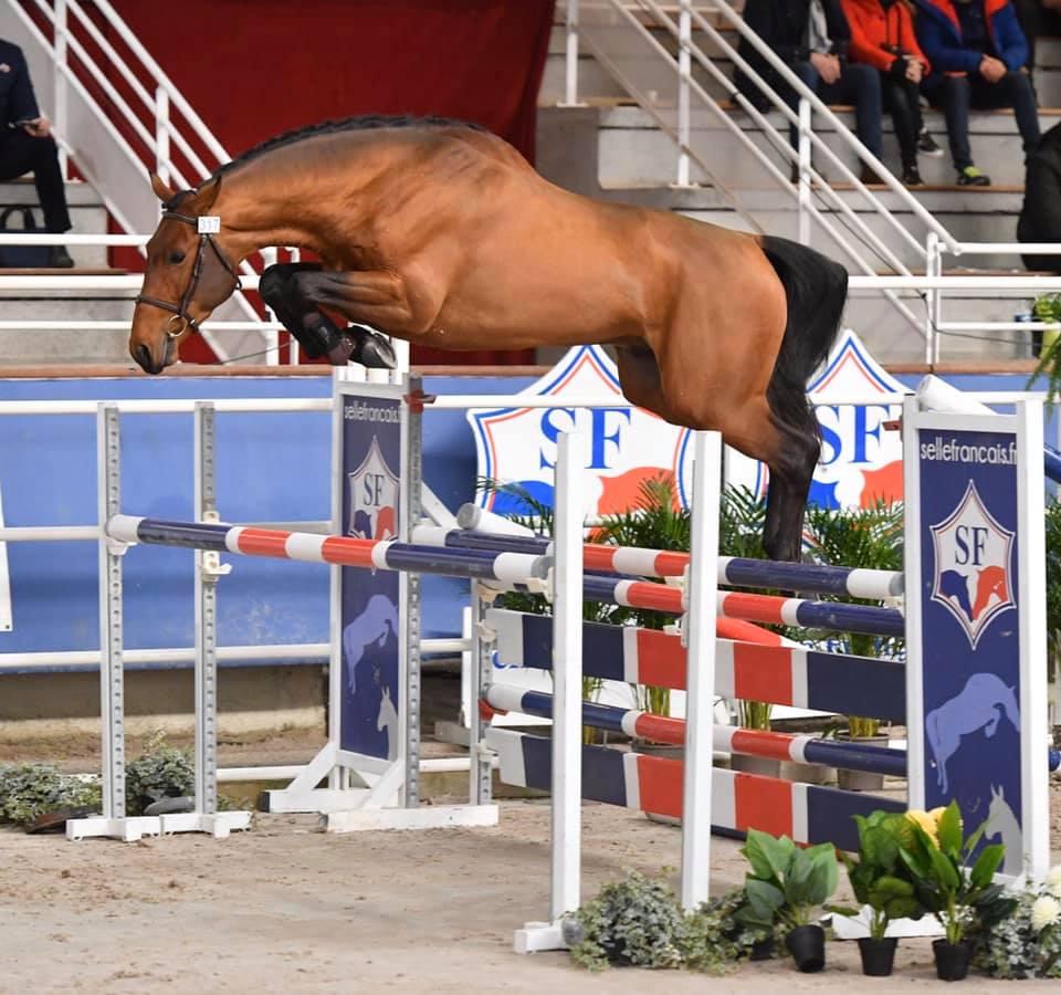 Championnat des étalons 2020 : les résultats des chevaux issus d'élevages de Bourgogne Franche-Comté sont connus