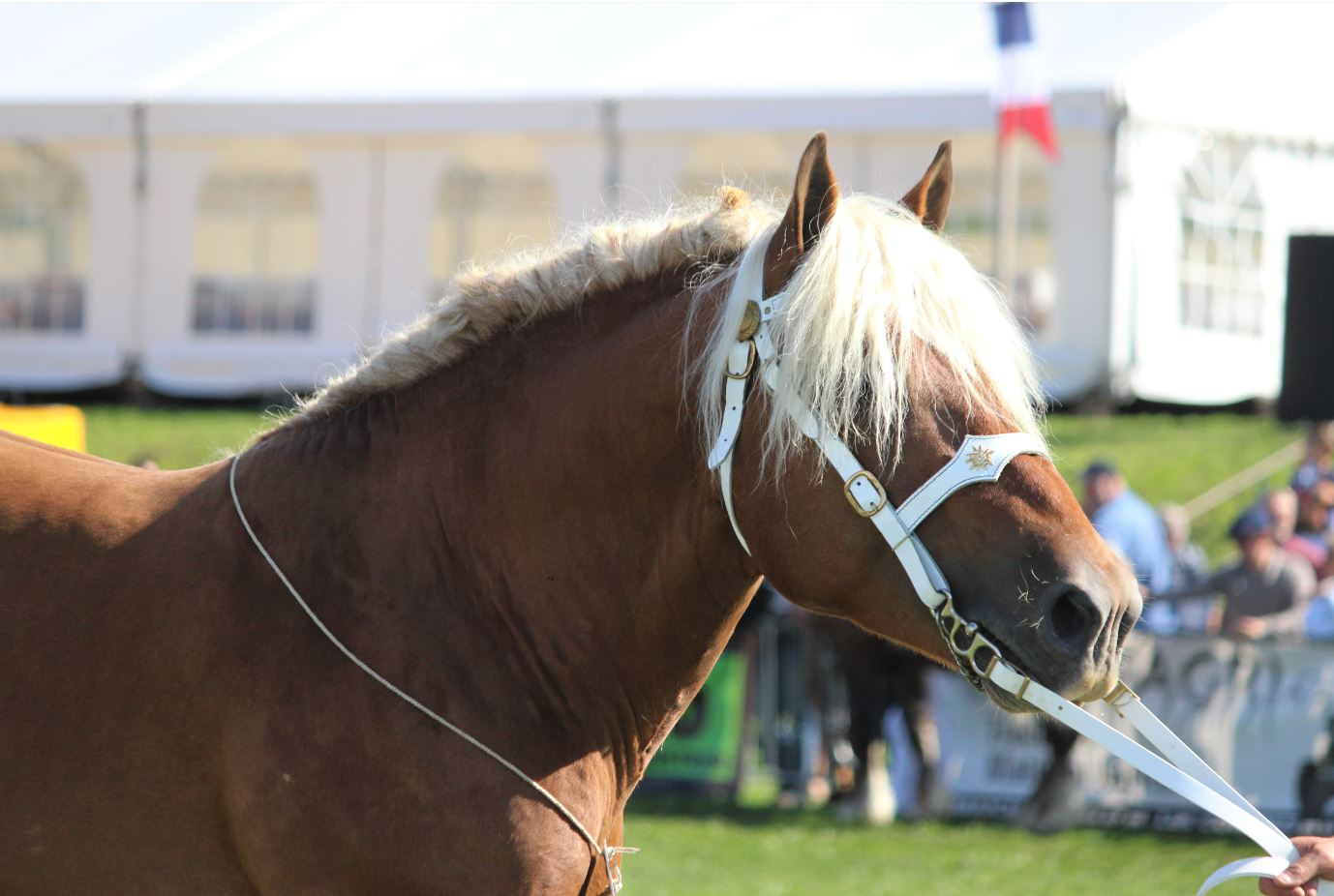 Vente aux enchères de chevaux comtois